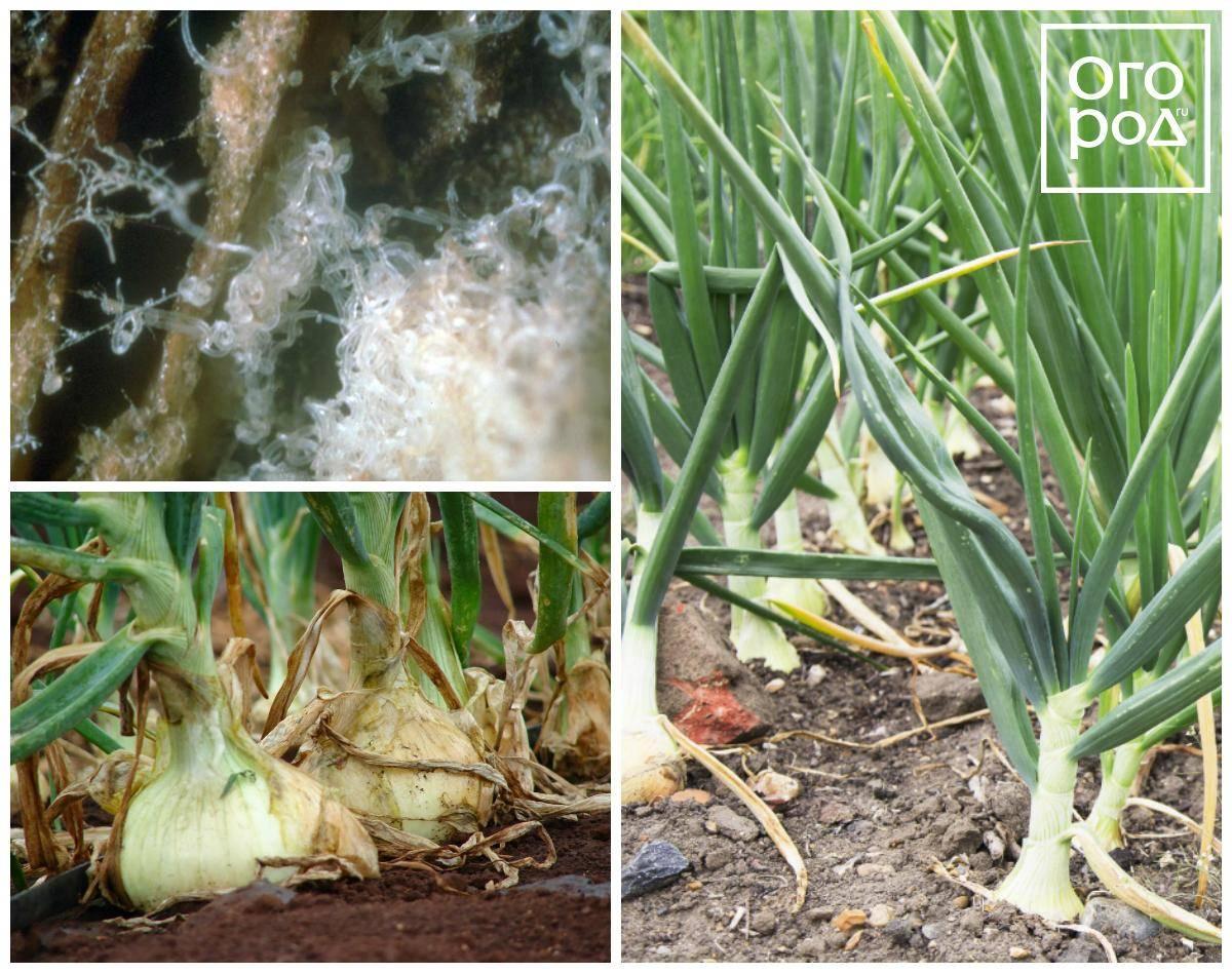 Болезни и вредители лука: как предотвратить появление