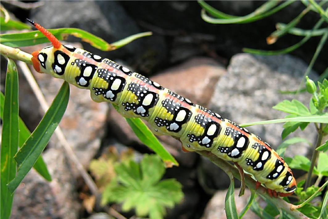 Топ-8 самых распространенных видов гусениц