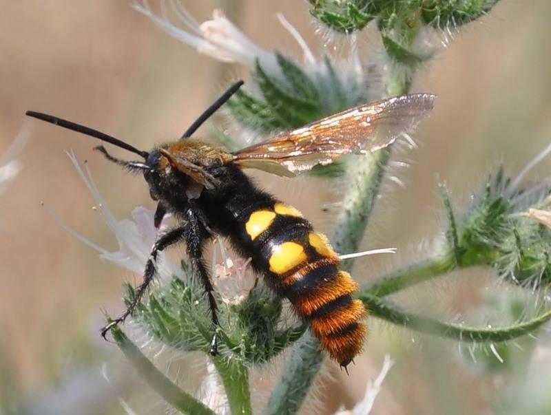 Черные осы — чем опасны и как от них избавиться?