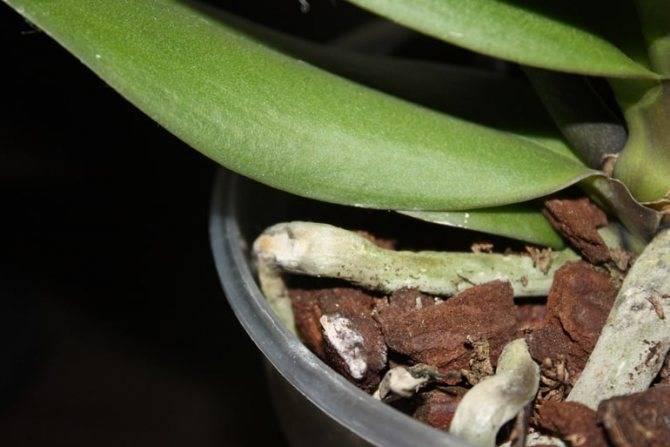 Мошки в орхидеях: как избавиться в домашних условиях, способы, профилактика