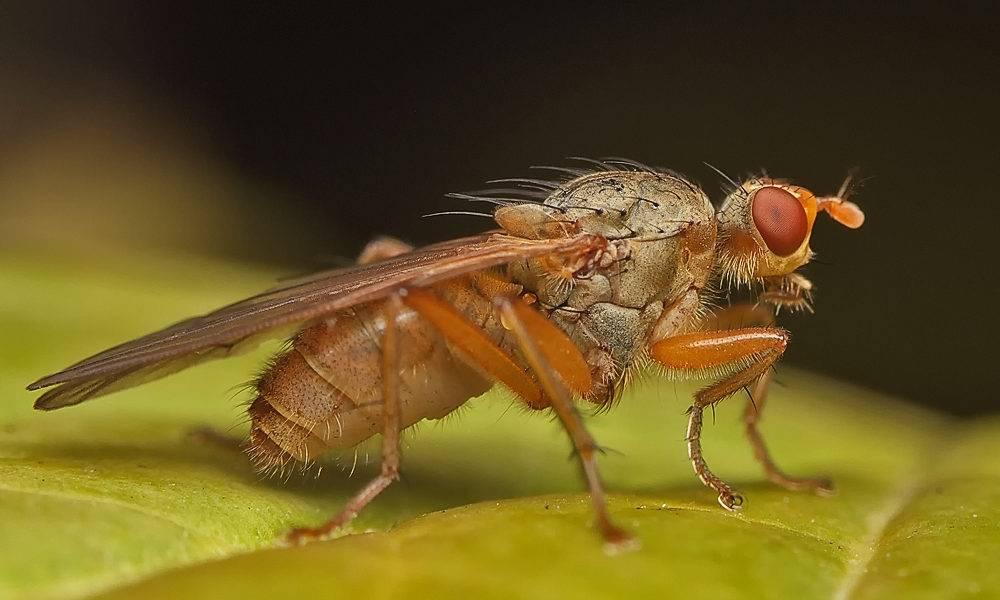 Как избавиться от луковой мухи дома народными средствами?