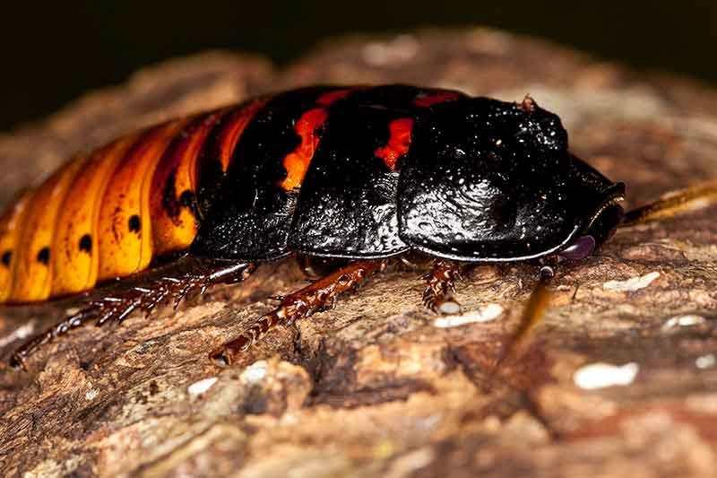 Чем отличается морской таракан от обыкновенного? особенности реликтового существа