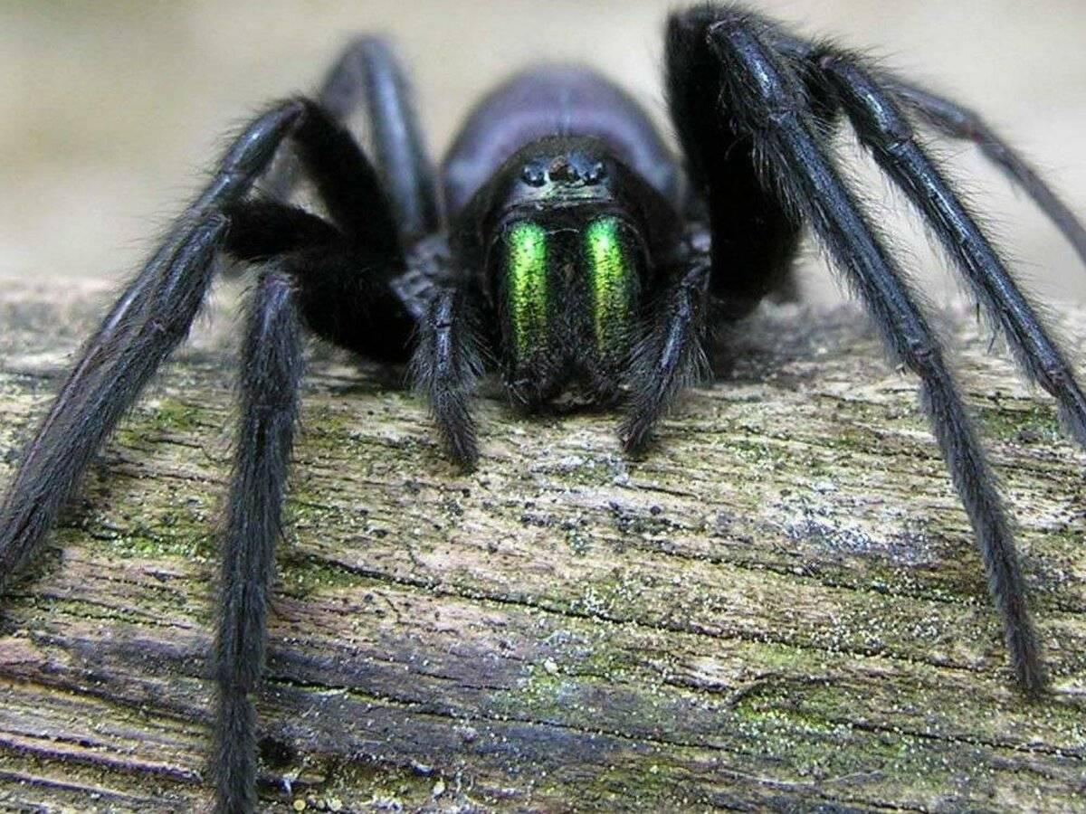 Описание и фото самых больших пауков в мире