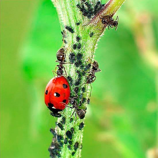 Что ест тлю: кто из насекомых является их самым опасныи врагом, какие препараты использовать против вредителей, как ещё можно ее уничтожить? selo.guru — интернет портал о сельском хозяйстве