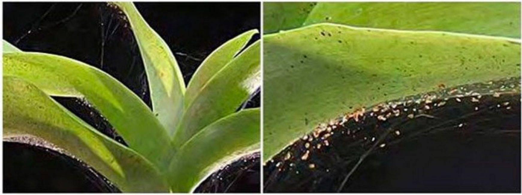 Паутинный клещ на орхидее: как избавиться от паразита