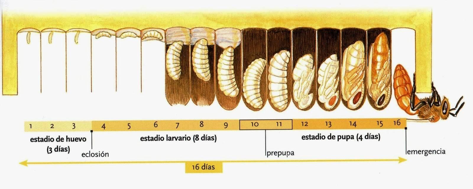 Формы и способы размножения пчелы медоносной, сроки, сколько дней выводится пчела