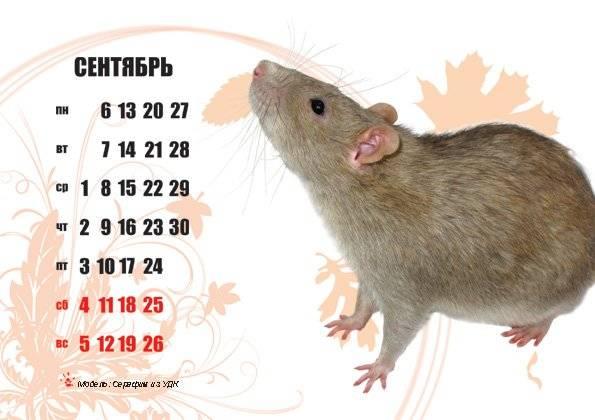 Звуки крыс или о чём говорят декоративные крысы