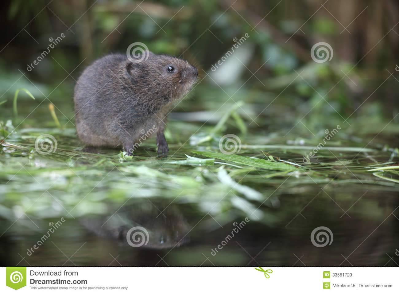 Водяная крыса – что из себя представляет и как с ней бороться?