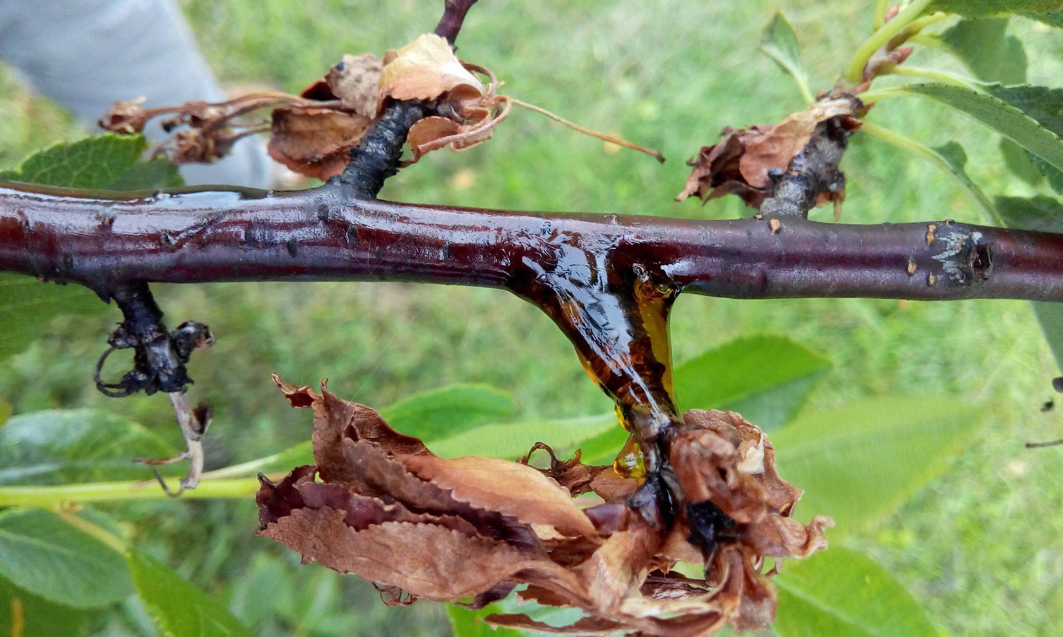 """На черешне муравьи - что делать? - журнал """"совхозик"""""""
