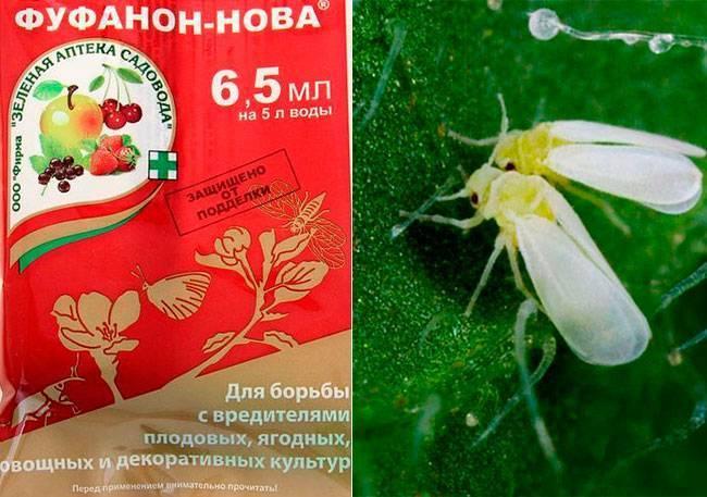 Белокрылка в теплице: как избавиться? / асиенда.ру