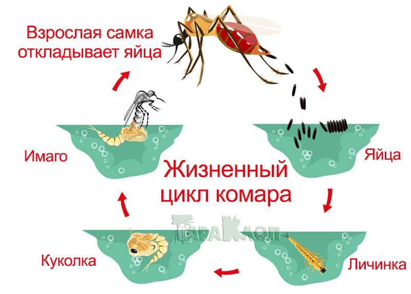 Долго ли живут комары?