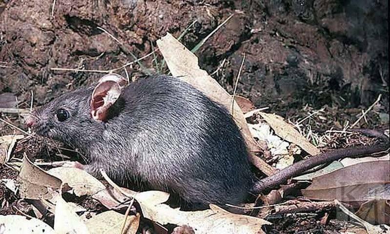 Черная крыса: маленький, но опасный враг