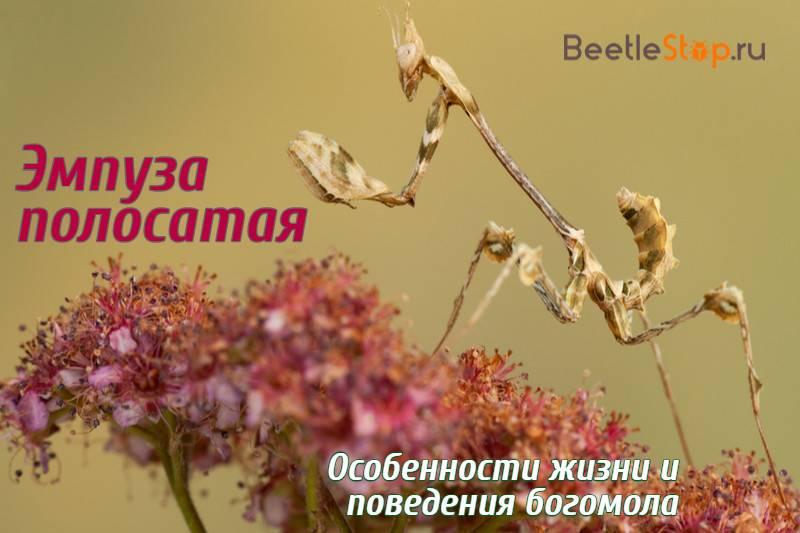 Крымский богомол: фото, чем опасен для человека, кусается ли, описание