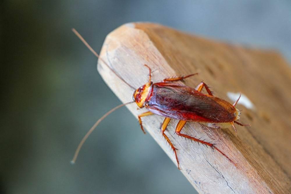 Как размножаются тараканы в квартире и как быстро они растут, самка таракана
