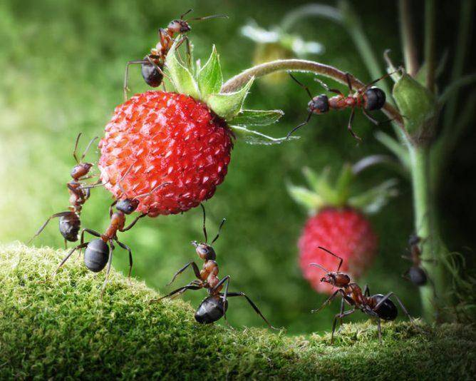 Как спасти клубнику от муравьев