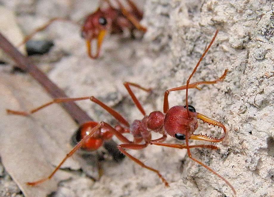 Самые опасные муравьи в мире