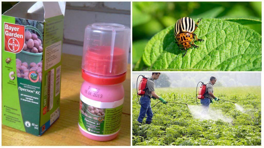 Престиж, престижитатор и табу от колорадского жука
