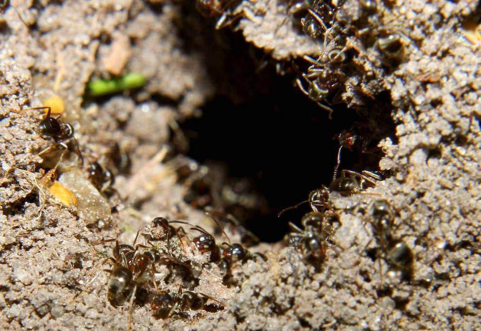 Как избавиться от муравьев на дачном участке: эффективные средства