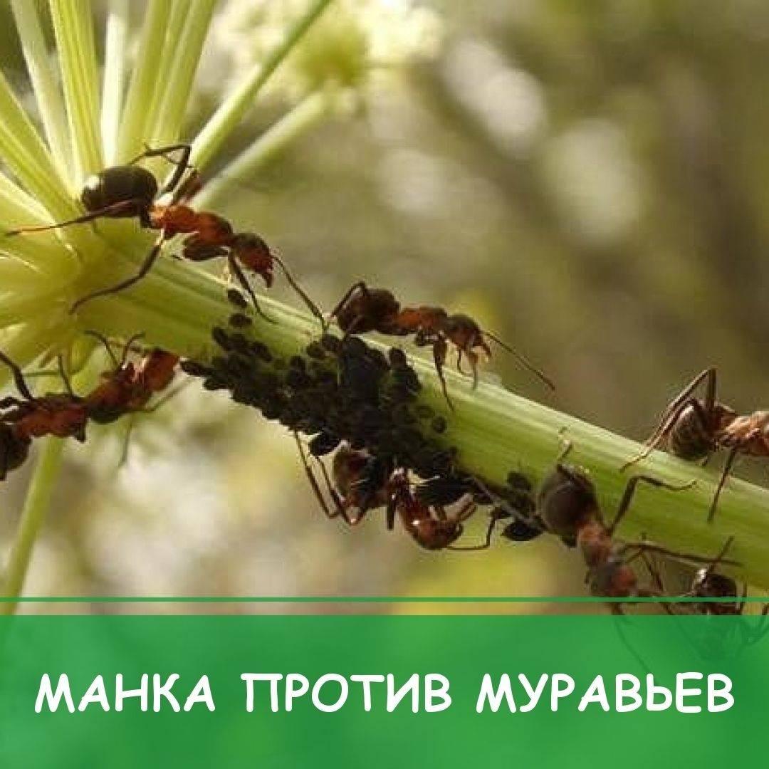 ✅ муравьи в теплице на огурцах: что делать, как вывести, чем обработать - tehnomir32.ru