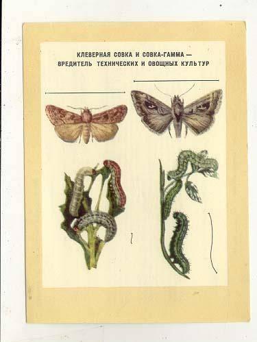 Огородный вредитель совка: бабочки и гусеницы капустного, хлопкового и гамма вида с фото, как бороться