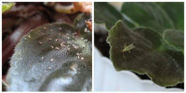 Клещ на фиалках: виды, признаки поражения, борьба с насекомыми
