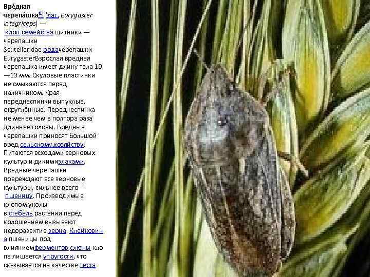 Клоп вредная черепашка в пшенице, меры борьбы