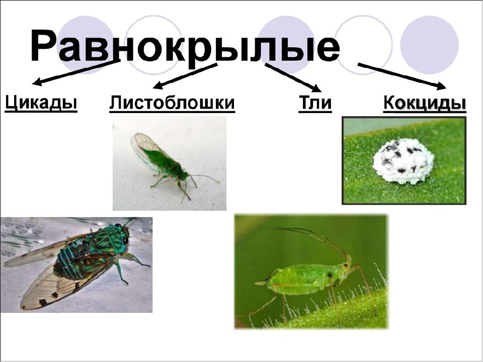 Как выглядит тля различных видов