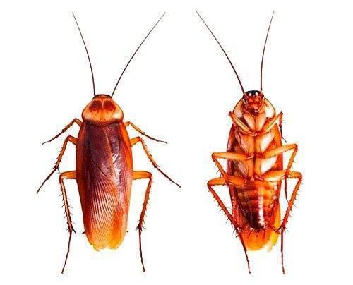 Как избавиться от рыжих тараканов в квартире самостоятельно?