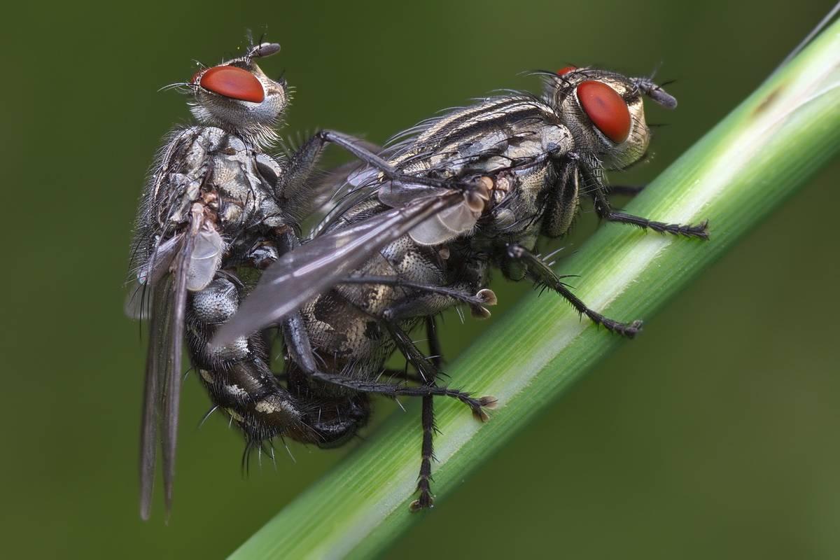 Мясная муха – фото и описание