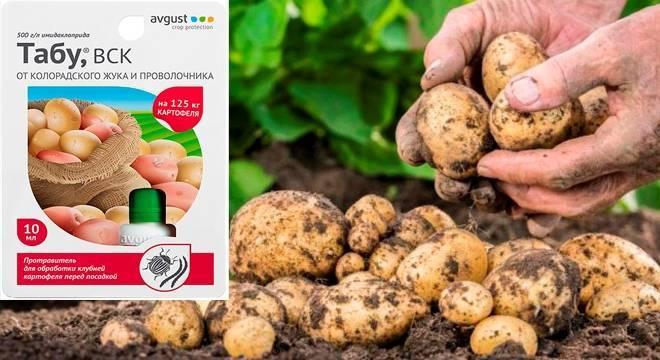 Применяем протравитель «табу» и защищаем картофель от колорадского жука