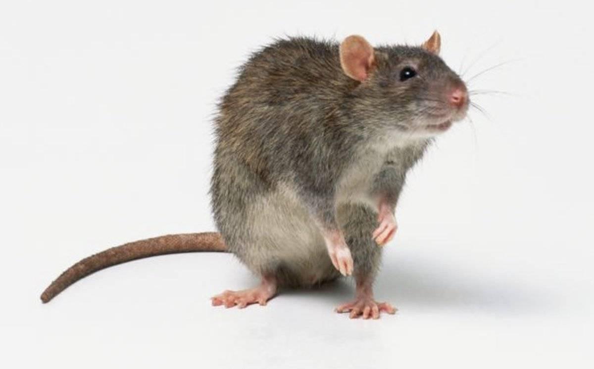 Помойная дикая крыса, или серый пасюк, как поймать?