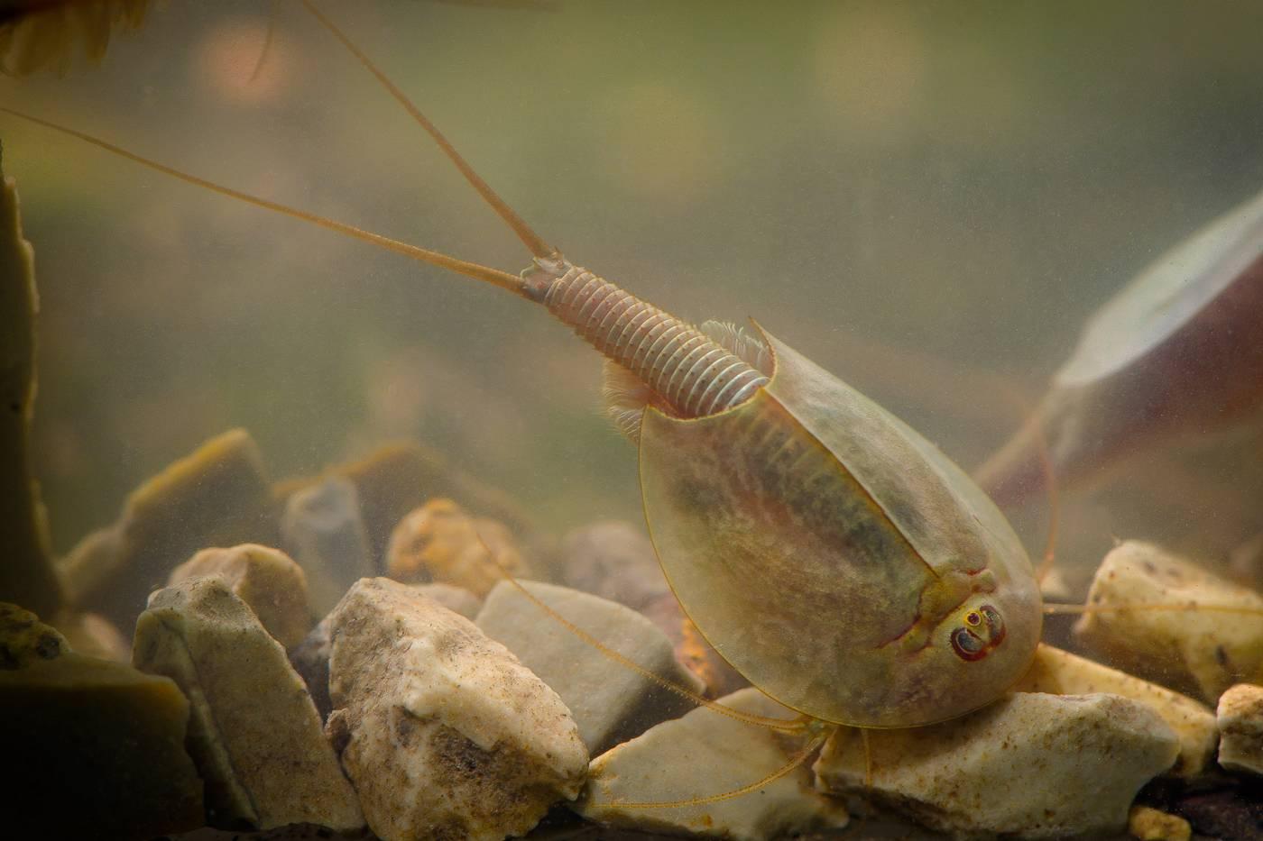 Метиннис: содержание в аквариуме, совместимость, виды, фото