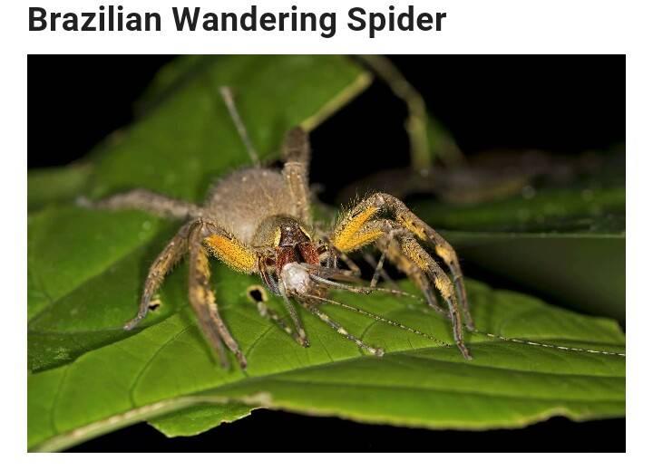 Бразильский паук путешественник, бегун, или солдат, чем опасен его укус?