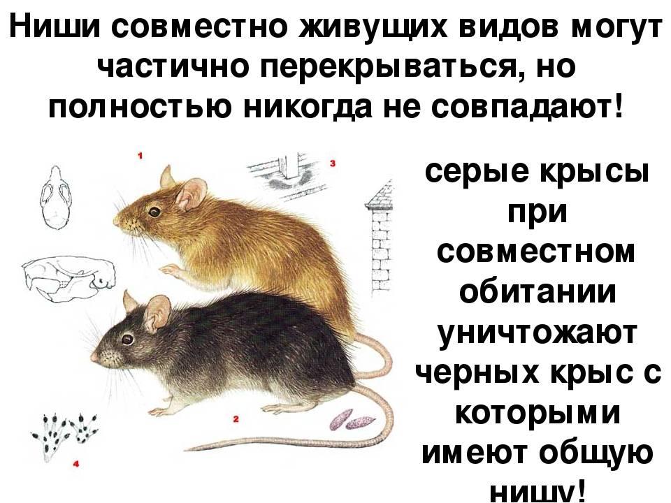 Питание грызунов: особенности рациона дикого и домашнего животного
