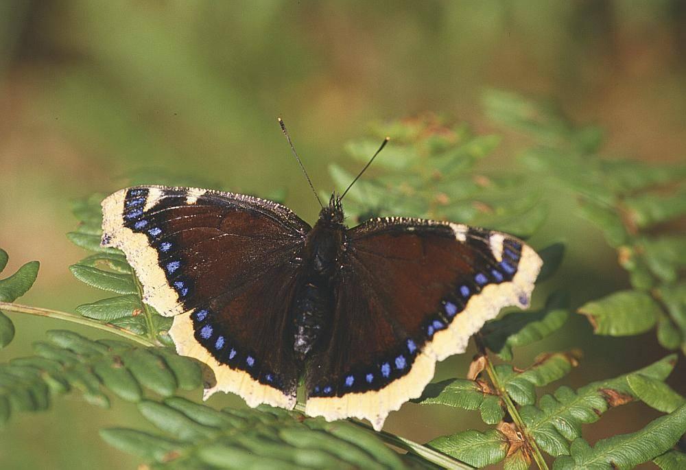 Бабочка ленточник — описание, среда обитания, виды