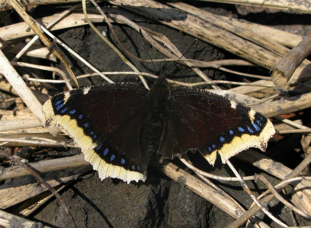 Бабочка переливница — описание, среда обитания, виды