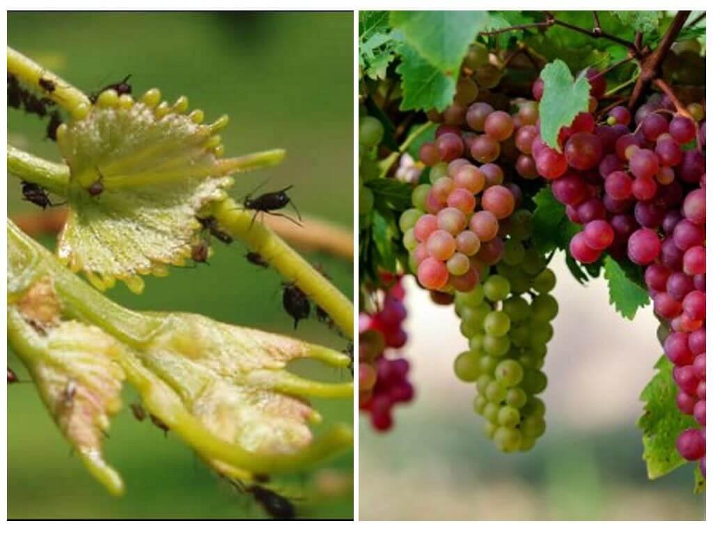 Вредители винограда: их фото и чем лечить