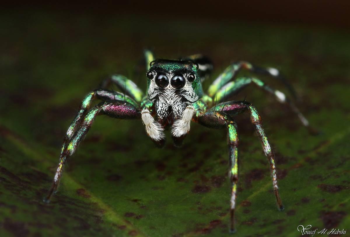 Паук-скакун – фото, описание, виды, питание, содержание, купить | golubevod.net