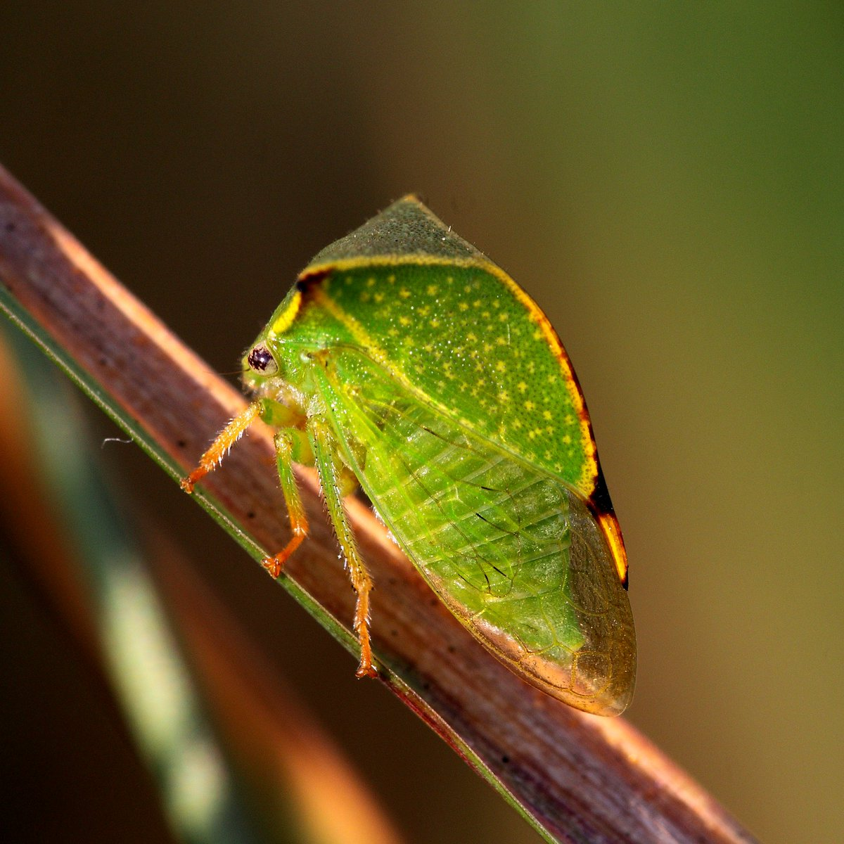 Американский таракан periplaneta americana