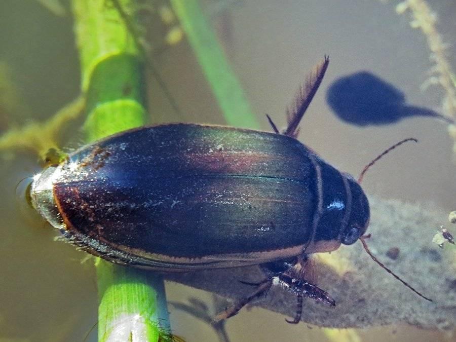 Плавунец жук. образ жизни и среда обитания жука плавунца