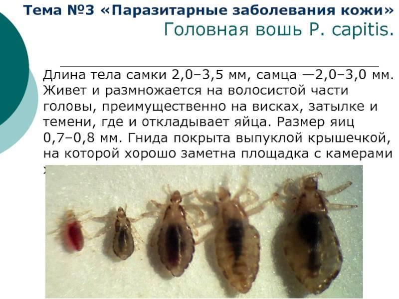 Особенности размножения и паразитирования вшей