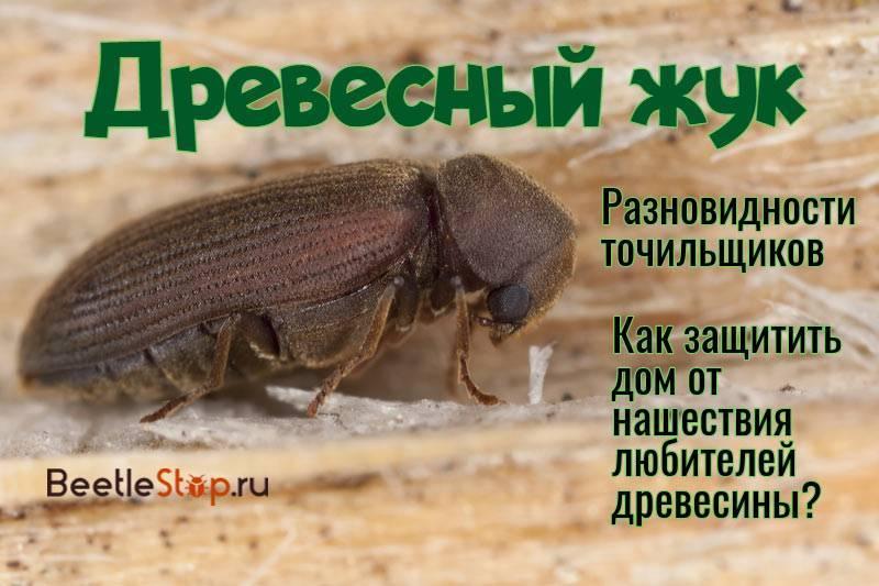 Жук древоточец: способы борьбы. как бороться с жуками древоточцами и как предупредить их появление. виды жуков древоточцев, способы борьбы с паразитами, профилактические меры.