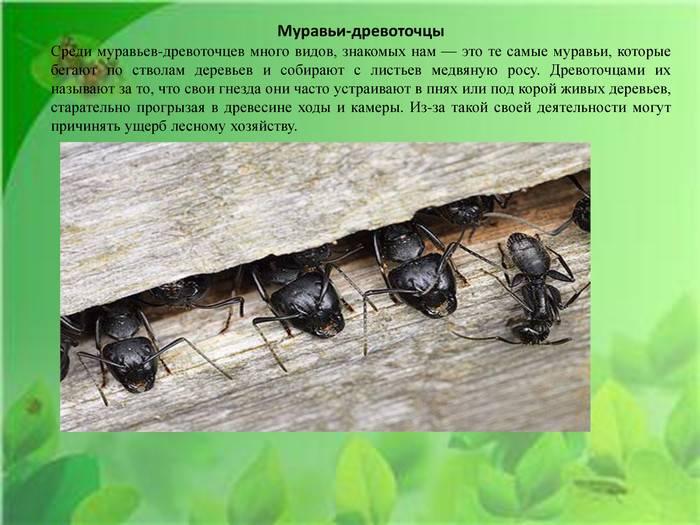 Как вывести муравьев древоточцев - wikihow