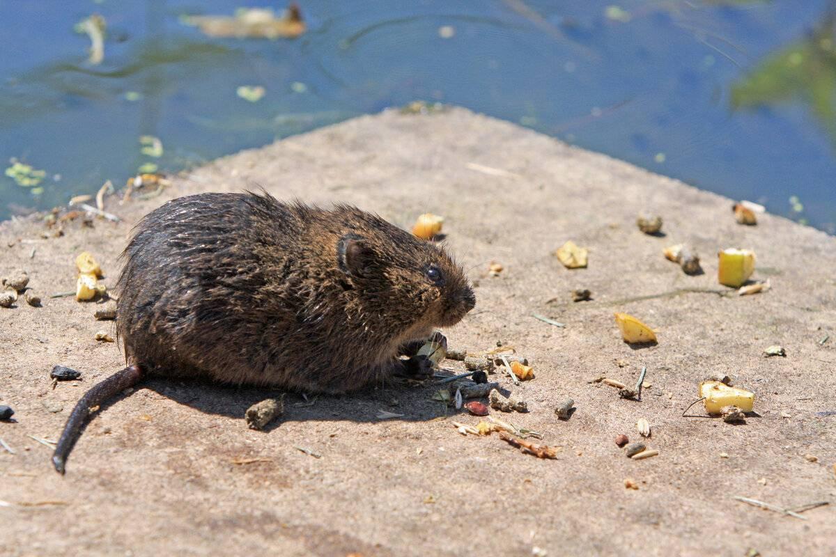 Водяная крыса (водяная полёвка)