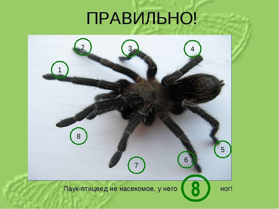 Ноги пауков — особенности и назначение конечностей членистоногих