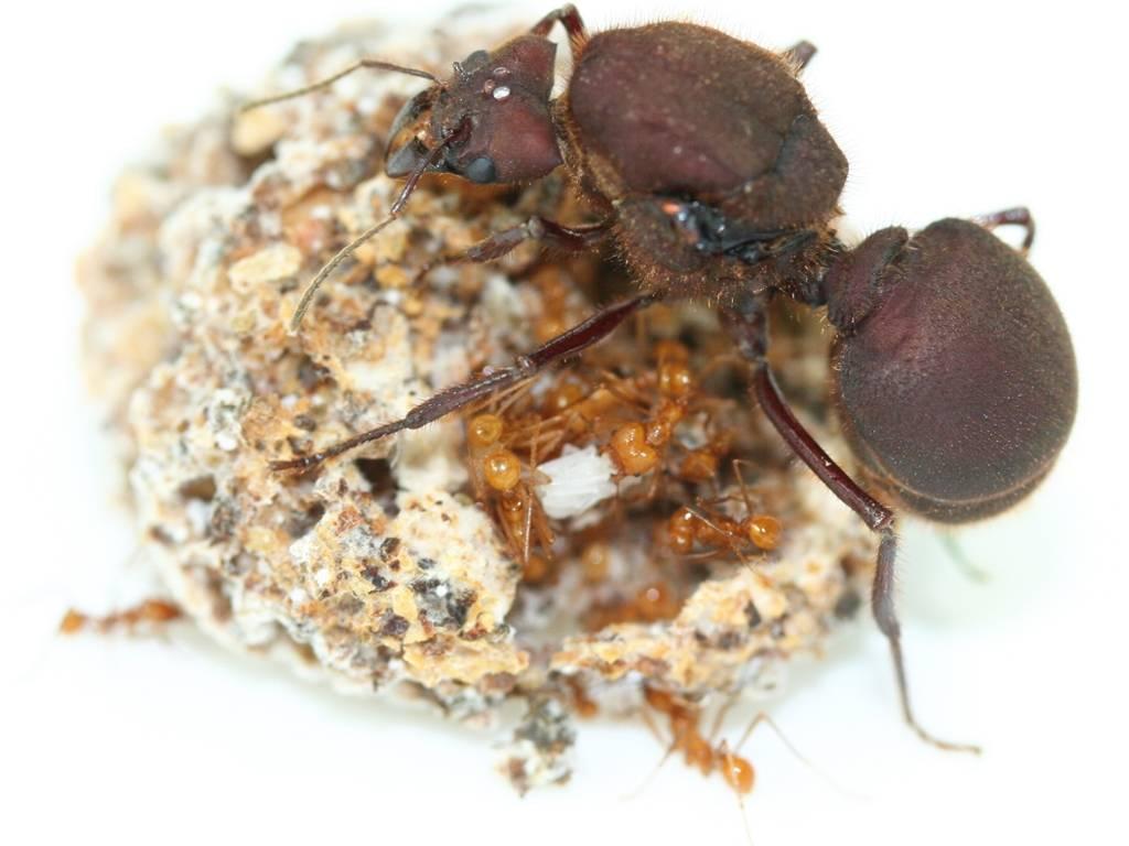 Муравей насекомое. описание, особенности, виды, образ жизни и среда обитания муравья. мир муравья