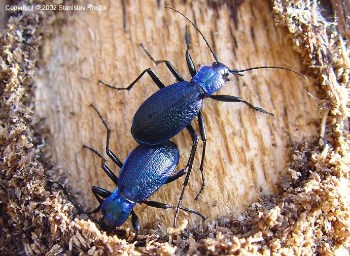 Оленка мохнатая: фото и образ жизни жука, способы победить вредителя в саду и на огороде