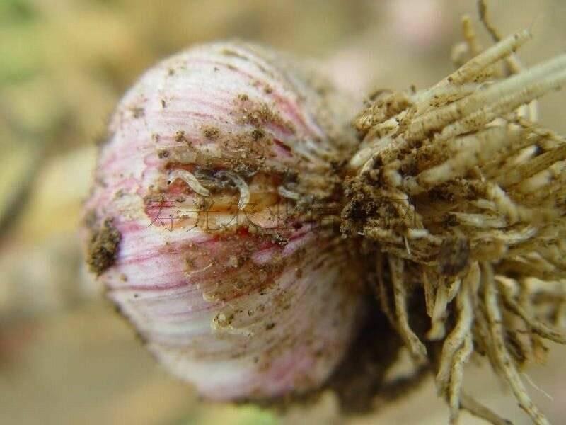 Какой вред причиняет луковая моль? Эффективные способы борьбы с опасным насекомым на огороде