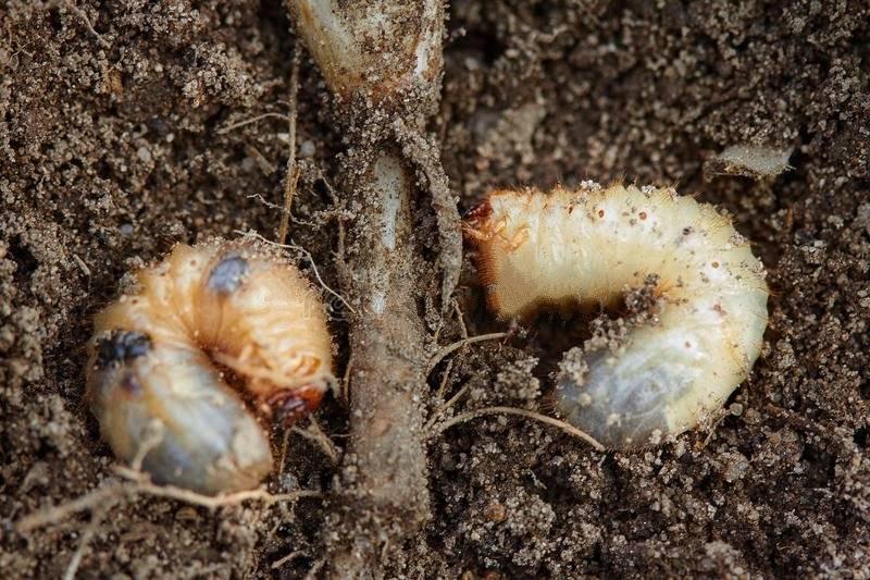 Химические препараты от нематоды в почве. как бороться с нематодой земли: народные рецепты, химикаты и сидераты