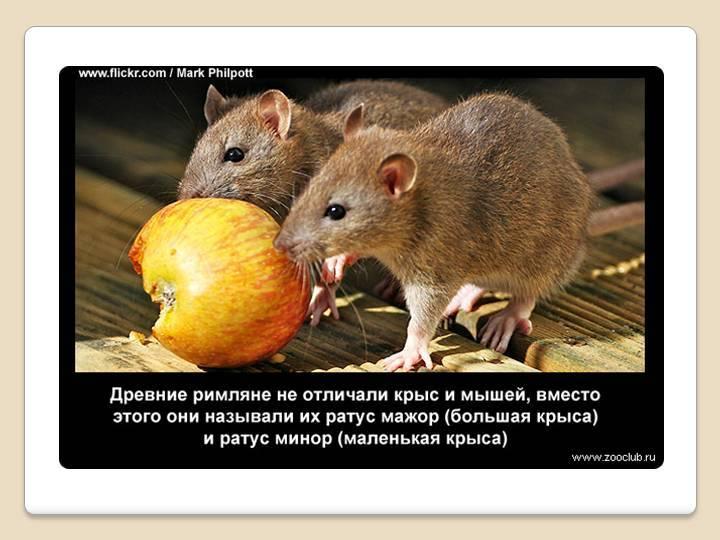 Умные крысы: насколько они умны, почему такие понятливые декоративные питомцы, что умеют делать животные